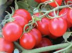 Cherry Rojo